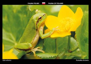 Fauna of Poland: European tree frog