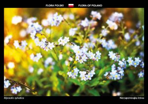 Flora of Poland: Wood forget-me-not