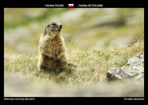 Fauna of Poland: Alpine marmot