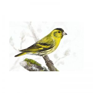 Birds of Russia: The Eurasian Siskin