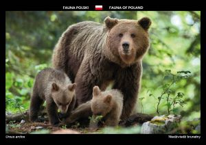 Fauna of Poland: Brown bear