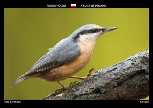 Fauna of Poland: Eurasian nuthatch