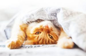 Ginger cat under a blanket
