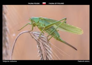 Fauna of Poland: Great green bush-cricket