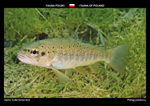 Fauna of Poland: Brown trout
