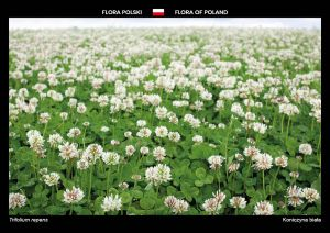 Flora of Poland: White clover