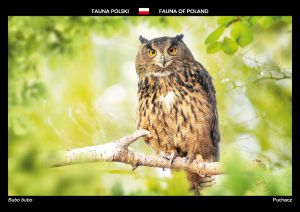Fauna of Poland: Eurasian eagle-owl